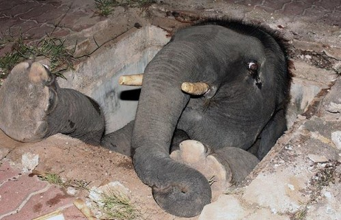 Baby elephant trapped in