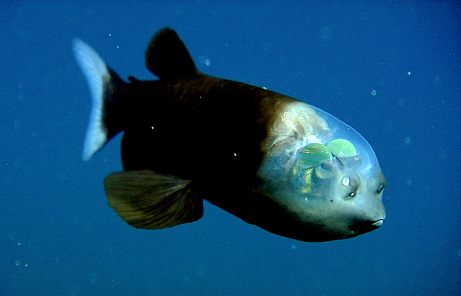 fish transparent head barreleye pictures big Top 10 Nat Geo Discoveries of 2009