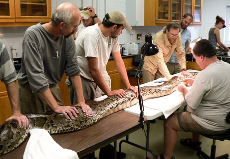 giant snakes invasion us Top 10 Nat Geo Discoveries of 2009