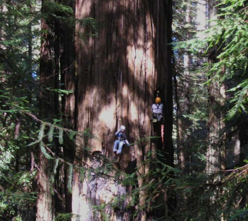 climbing on tree 500x446 Top 10 Worlds tallest living trees