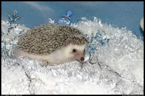 Cute Hedgehog Photos