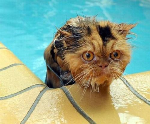 wetcat17 500x416 40 Funny Photos of Wet Cat