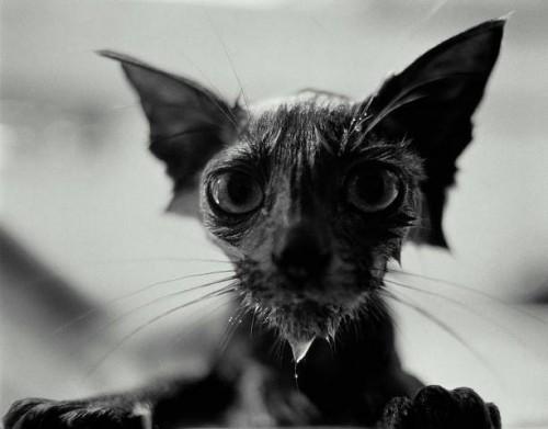 wetcat29 500x391 40 Funny Photos of Wet Cat