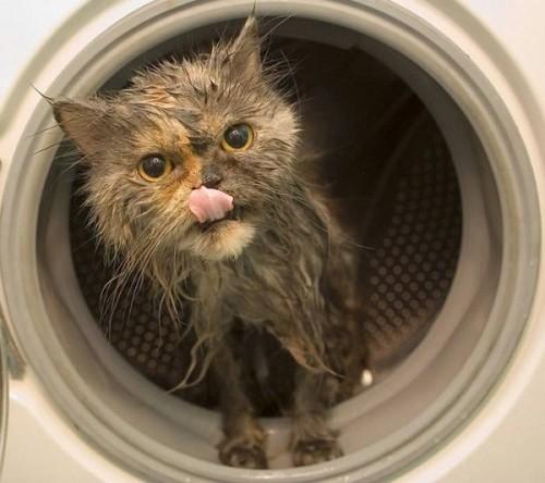 wetcat38 500x444 40 Funny Photos of Wet Cat