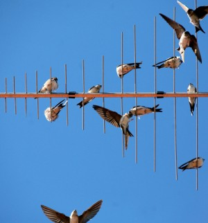 Swallows are excellent fliers