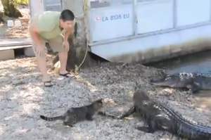 cat-vs-alligators