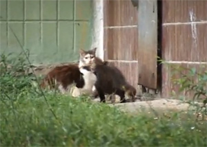 Crazy rat attacked the cats - video