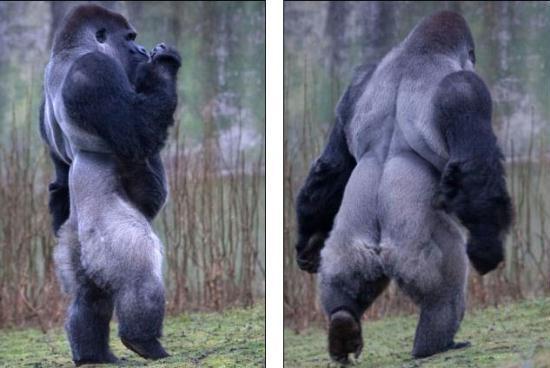 Ambam the Gorilla Walks Like A Man