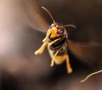 Wild Bees vs Wasps