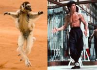 Kung Fu lemurs