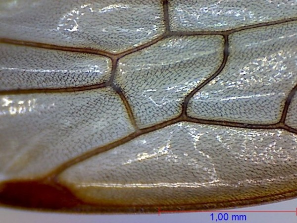 Wasp under the microscope - Close-up of a wing