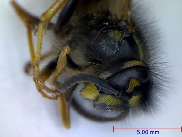 Wasp under the microscope - Head and thorax