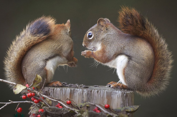 Kung fu squirrels - Squirrels fight for food.
