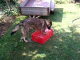 Smart dog cools himself with water