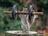 Squirrel Bodybuilder