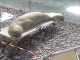 Mediterranean monk seal sunbathing on lounger