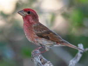 The Purple Finch