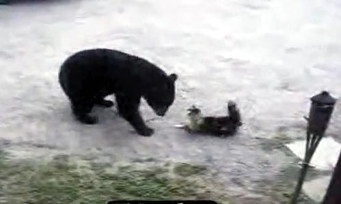Cat attack Bear