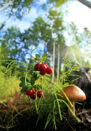 mushroom and lingonberries