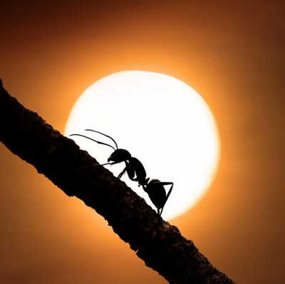 Stunning close-ups of Insects - Ant on Sun