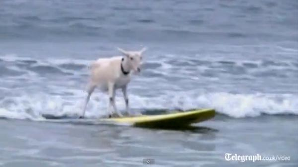Surfing Goat in California - Video