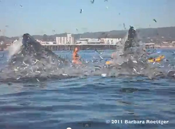 Surfer Almost Swallowed by Whale