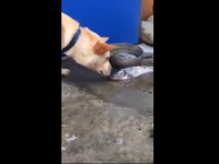 Amazing dog saves fish